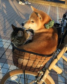 Shiba with adorable kitty