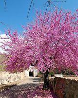 Judasbaum•Liebesbaum•30 Samen/seeds•Cercis siliquastrum•Blütenmeer•winterhart