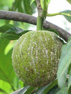 Breadfruit: kindof strange, to say the least, but Ben wants to try roasting it on the fire like is traditionally done... We did oven roasting....