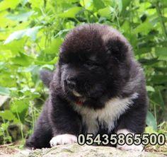 yavru kafkas çoban köpeği  http://www.kafkascobankopegi.com/2016/07/satilik-kafkas-coban-kopegi-yavrulari.html