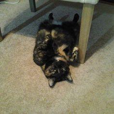 https://flic.kr/p/yvS8PW   Behind my worktable today .. my sweet Lizzie #catsofinstagram #tortiecats