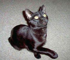 manx cats | Manx - Cats - Stumpy