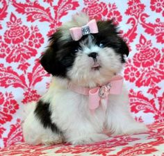 Tiny Imperial Shihtzu Princess 3lbs at 13 weeks! She is Adorable!! SOLD! Moving to Miami!!