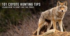 How to coyote hunt, best varmint tips. The best way to hunt coyotes hands down. Plus free predator hunting tips and 101 tricks for hunting coyotes!