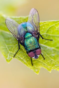 Blow Fly | Calliphoridae Size: 7-8 mm Early morning stack o… | Flickr - Photo Sharing!