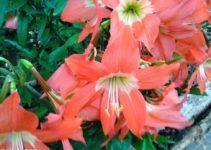 bunga amarilis juga merupakan tanaman hias yang mudah dirawat