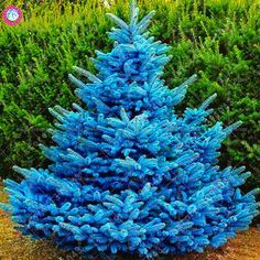 30 pcs/bag blue spruce trees, bonsai blue spruce seeds, Picea Pungens Seeds Evergreen Ornamental potted Tree for home garden Evergreen Trees For Sale, Evergreen Colorado, Silhouette Design, Blue Spruce Tree, Specimen Trees, Potted Trees, Tree Seeds, Belleza Natural, Garden Supplies