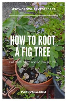 How to root a fig tree cutting and grow fig trees for free – Gardening for beginners and gardening ideas tips kids Fig Fruit Tree, Fig Tree Plant, Growing Fig Trees, Growing Plants, Fruit Garden, Garden Trees, Backyard Trees, Herbs Garden, Fig Bush