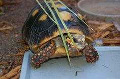 The red-footed tortoise can live more than 50 years.