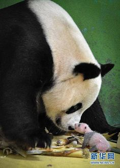 Ju Xiao with one of her triplets at the Chimelong Safari Park in Guangzhou, China. © iPanda.