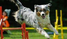 Getting your pooch into dog agility competitions can be a great way for you and your pet to bond and exercise together. Agility dogs are hard-working, sporty, and very attentive to what their owners want them to do, and with this sport, communication is key. #dogs #pets #science #agility #training #dog #competitions #athletic #animals #injuries #health