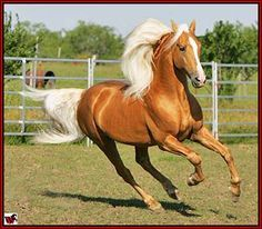 Palomino Tennessee Walking Horse stallion 'Armed Son Of A Gun' Cute Horses, Horse Love, Horse Photos, Horse Pictures, Palomino, Most Beautiful Animals, Beautiful Creatures, Tennessee Walking Horse, Majestic Horse
