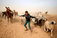 Wednesday, November 2: Near Mosul  -   A displaced Iraqi boy leads his animals to safety after escaping from the Islamic State controlled village of Abu Jarboa during clashes with IS militants near Mosul, Iraq November 1, 2016.