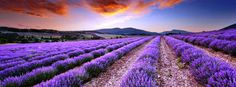 Purple Lavender Field Cover - Facebook Covers for Facebook ...