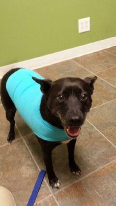 Jennie- URGENT! Foster Needed Now! Cattle Dog & Schipperke Mix • Adult • Female • Medium Midwest Animal Rescue Services Minneapolis,...