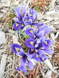 Cut a clutch of the iris to put in a vase and take the pleasing fragrance of this early spring flower inside: http://www.bhg.com/gardening/flowers/perennials/early-blooming-flowers/?socsrc=bhgpin032514harmonyiris&page=10