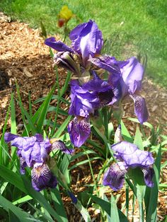 My purple Iris are in full bloom now, wish they lasted longer...
