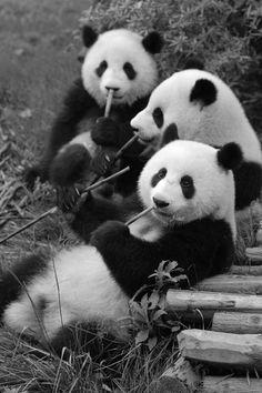 Q lindura son los pandas
