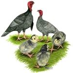 Chickens for Sale Backyard Farming, Chickens Backyard, Turkey Breeds, Chicks For Sale, Turkey Bird, Chicken Painting, Keeping Chickens, Pet Chickens, Baby Chicks