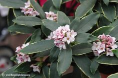 daphne- the first sweet smell of spring.