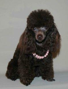 http://www.myteacuppoodles.com Teacup Poodle Breeder