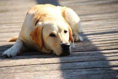 Labrador Retriever - 10 Monate
