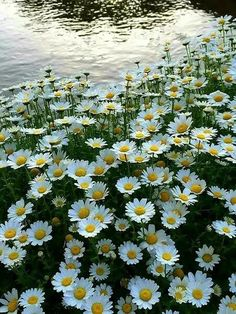 Little flowers - daisies Little Flowers, White Flowers, Beautiful Flowers, Daisy Flowers, Beautiful Landscapes, Beautiful Gardens, Daisy Field, Blossom Garden, Daisy Love