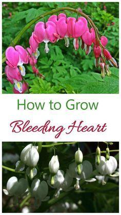 Bleeding Heart How To Grow Dicentra Spectabilis Bleeding Heart Bleeding Heart Plant Beautiful Flowers Garden