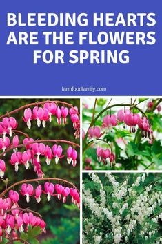 The Bleeding Heart plant that blooms from April through June and then goes dormant by August is an annual reminder of love's fickleness. #flowergarden #flowergardening #bleedingheart #gardeningtips #farmfoodfamily