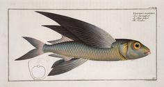 Exoecoetus exsiliens, The Swallow. (1785-1797)