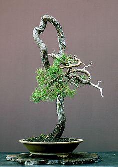 Walter Pall Bonsai Adventures: Scots pine #1
