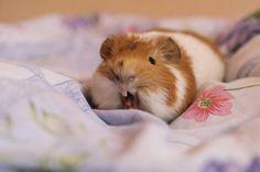 ^^ (by La'Pupsik)   Good morning piggie