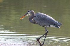 Great Blue Heron, Nature, Bird