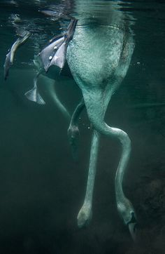 Swans diving under water.