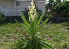 Юкка – цветок с сюрпризом   Дачный сад и огород