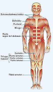 Imagen de los músculos del cuerpo humano en su cara anterior