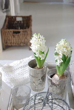 Beautiful white hyacinths