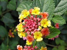 Essence of Lantana Full Sun Annuals, Lantana Camara, Flower Photos, Yellow Flowers, Backyard, Holiday, Plants, Image, Blog