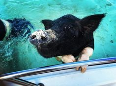 Happiness is a sandy snout.  Photo by: t_shoon Bahamas Honeymoon, Bahamas Vacation, Swimming Pigs, Cow, Happiness, Island, Happy, Animals, Animales
