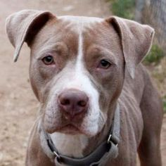 Adoptable Dog: Alaska - Pit Bull Terrier Mix (Austin, TX)
