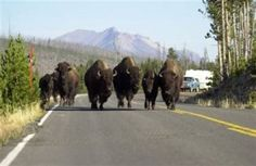A group of bison block a road in Yellowstone National Park. Bison that leave the park can be slaughtered to prevent the spread of brucellosis. (AP file photo)