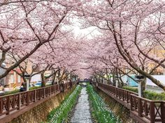 Located about 20 miles west of Busan, Jinhae is a quiet coastal town known for one thing: cherry blossoms. Each spring, the city holds the largest cherry blossom festival in South Korea, with hundreds of thousands of pink trees lining streets, railways, and streams.