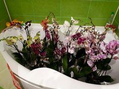 Takto som prinútila moju ORCHIDEU, aby mi opäť kvitla. Mala až 5-krát viac púčikov. Pomôže zachrániť aj zvädnutú orchideu – radynadzlato.sk