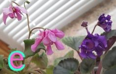 Lunar Lily pink & PL Zemfira
