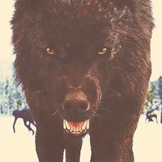 Beware of wolves... They may hurt you if you hurt them or their family... Beware, never hurt them.