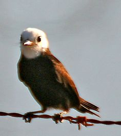 White-headed Water-Tyrant, Pantanal, Brazil | Flickr - Photo Sharing!