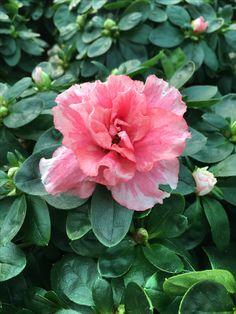 Le azalee in fiore di Green Flor