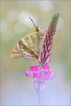 Argynnis paphia by Peter Schwarz on 500px