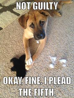 Dawson meme!! <3 this dog!! Pit bull mix :)