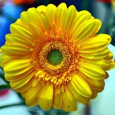 Gerbera, Yellow Blast